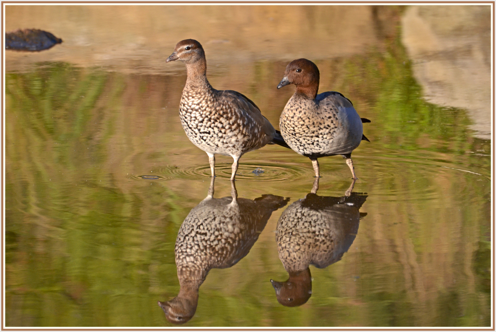 Australian woodduck couple