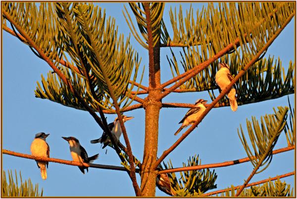 kukabarra at sunset