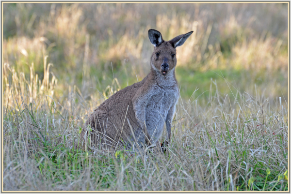 kangaroo in Barossa Valley, South Australia