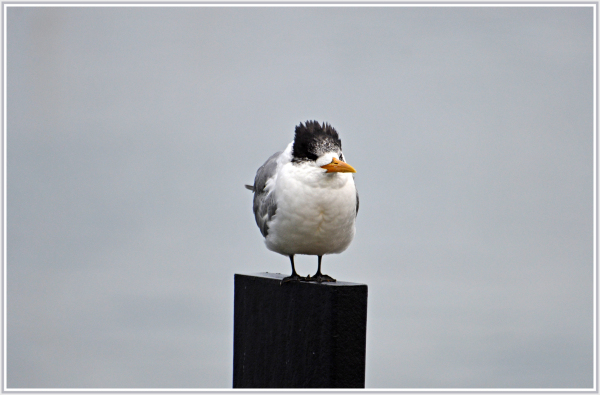 seagull in Kangaroo Island
