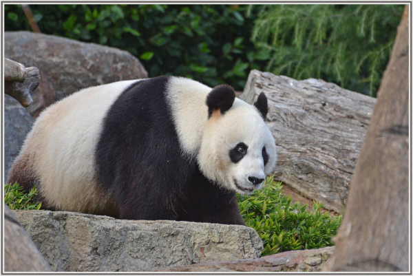 Giant Panda in Adelaide Zoo