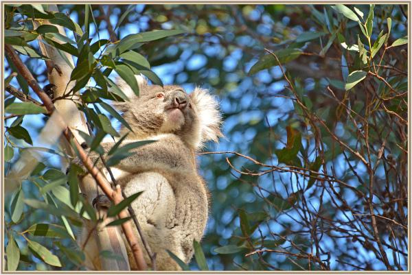 koala in Kangaroo Island