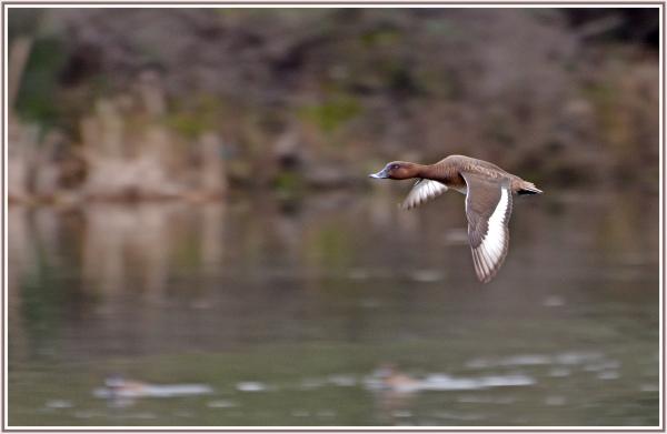 White bead duck