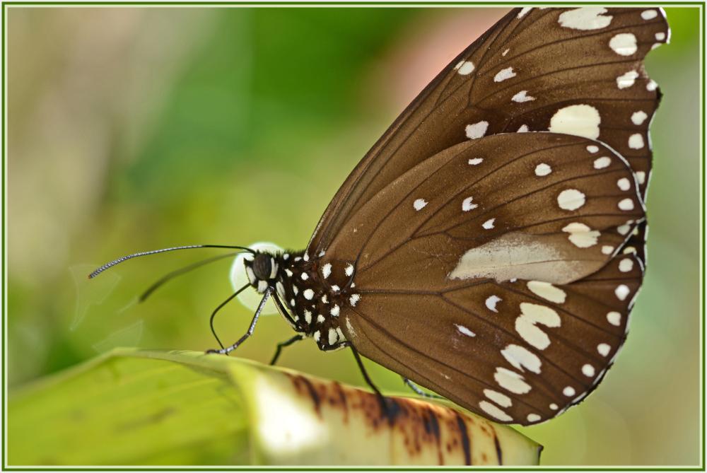 black butterfly in winter time