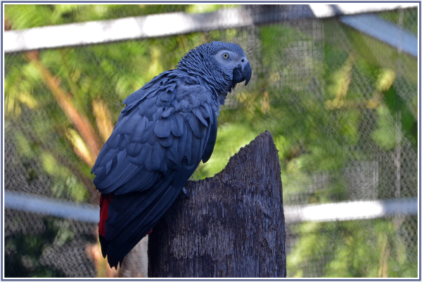Black cockatoo in Adelaide Zoo