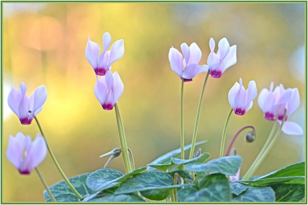Cyclamen Persicum cultivar
