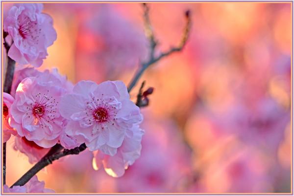 pink cherry blosoom