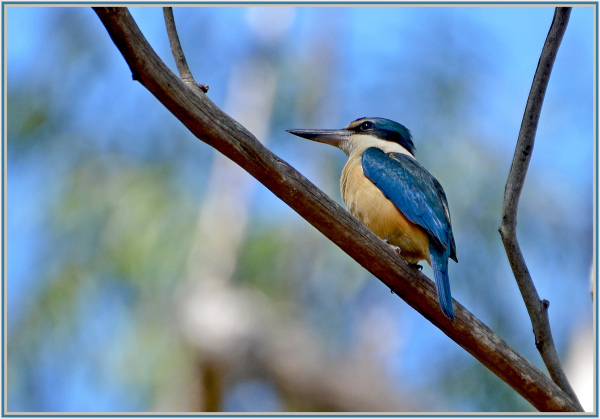 blue kingfisher