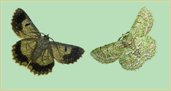 front and back of a green moth