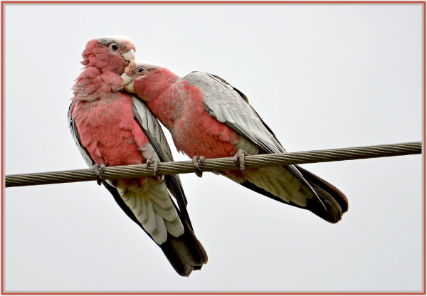 Intimate moment of red galahs