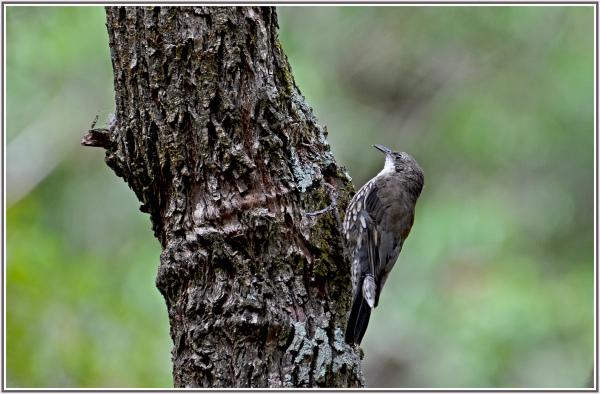 white throated tree creeper