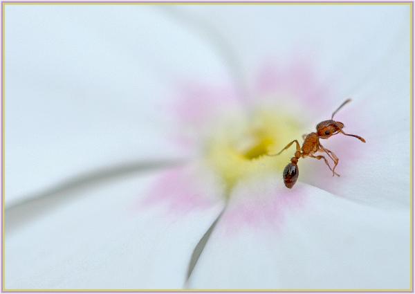 ant on white flower