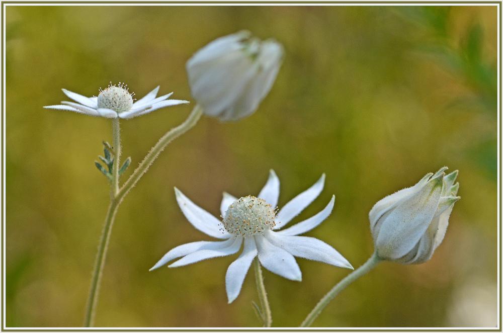 white wide flower
