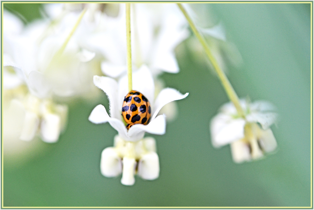 beetle on white flower