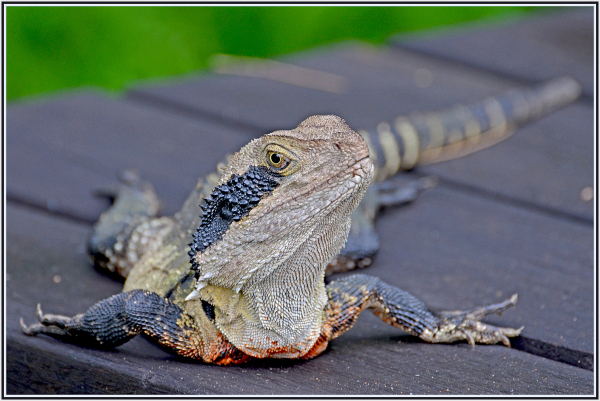 water dragon on a picnic table