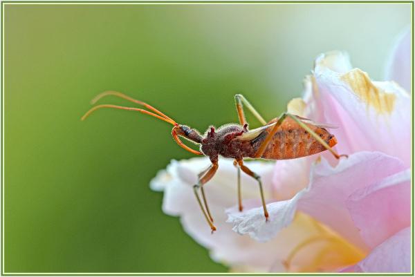 bug on camilia