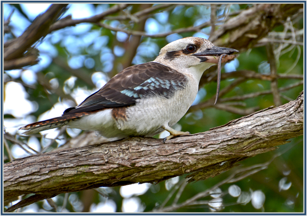 meal of a kookabarra