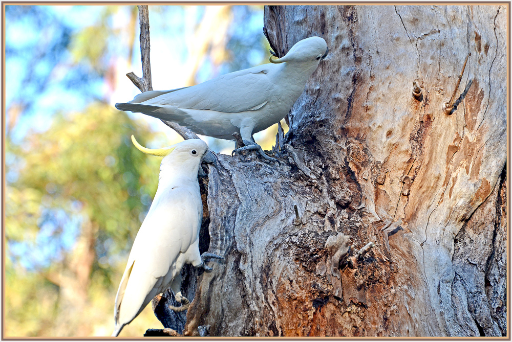 love nest of cockatoo