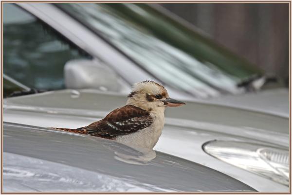 kookabarra on my car