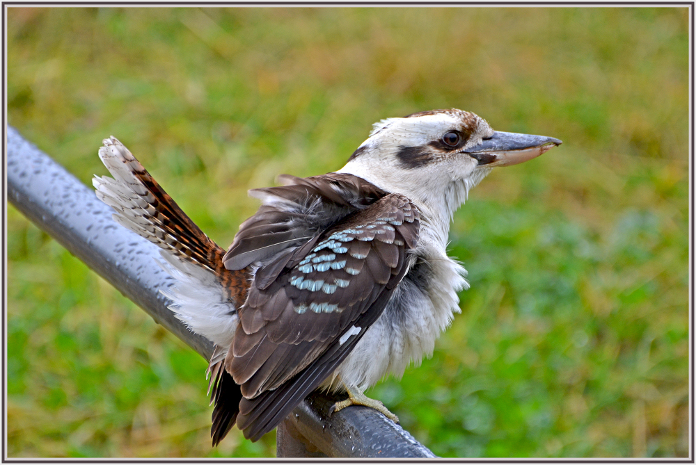 kookaburra on a cold rainy windy day