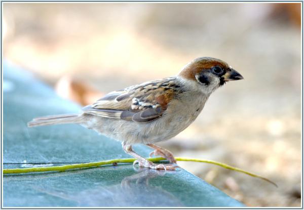 sparrow in Hong Kong