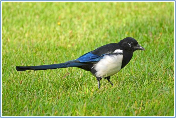 Korean Magpie