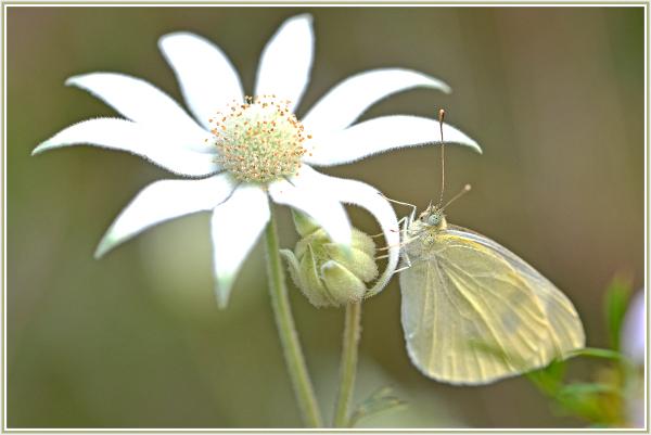 white butterfly on white wild flower