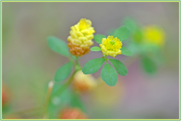 small yellow wild flower