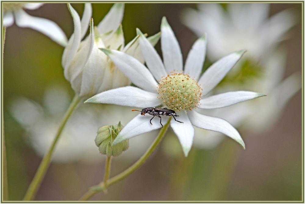 black bug on white flower