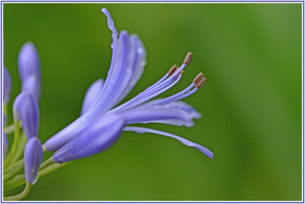 Blue flower in the rain