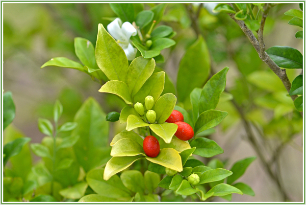 white flower with red fruit