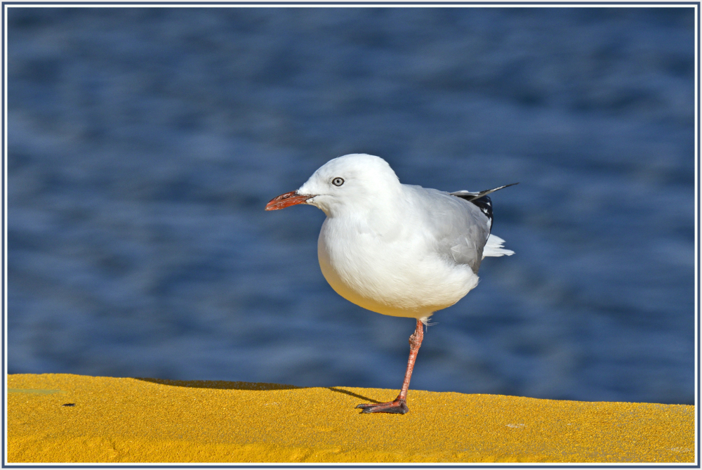seagull in Hobart