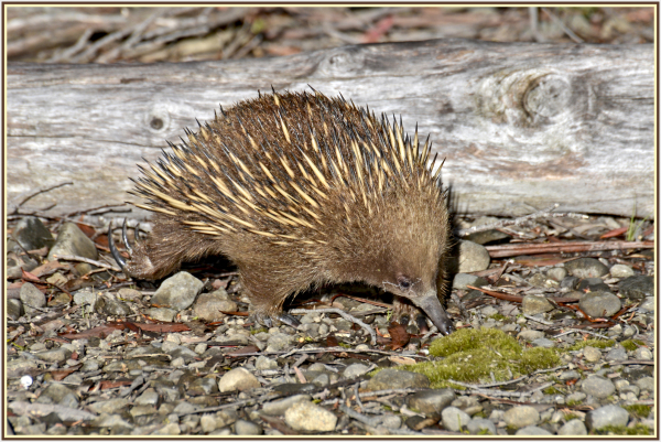 echidna at Lake st Claire Tasmania