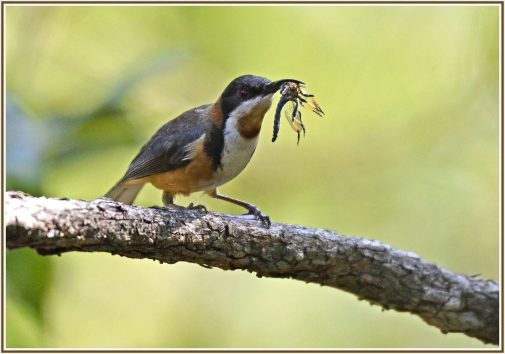 Catch of the honey eater
