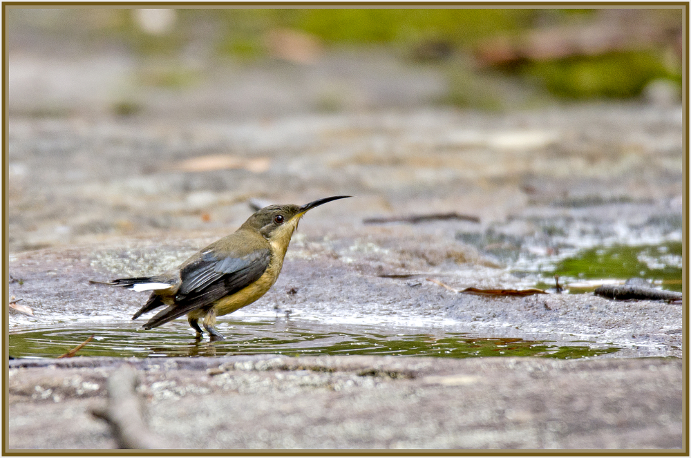 honey eater drinking