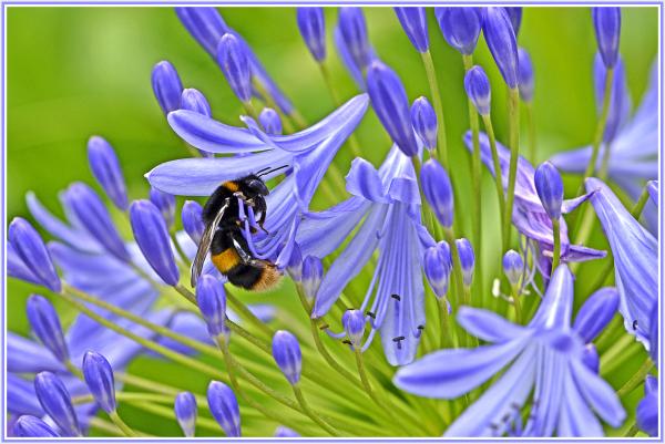 big bee on blue flower