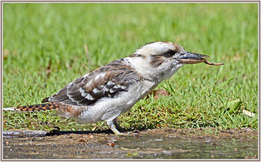 Kookaburra meal