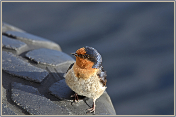 swallow in St Claire Tasmania