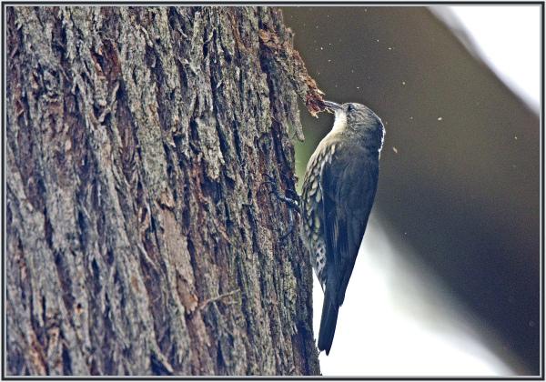 tree creeper pecking wood