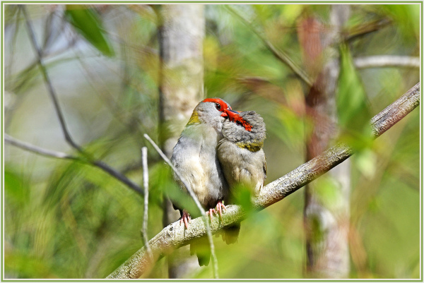 red finch intimate moment