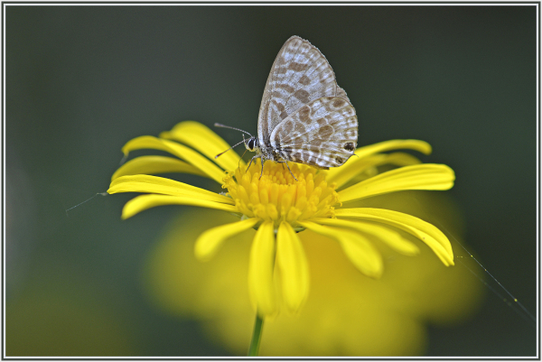small butterfly on yellow daisy