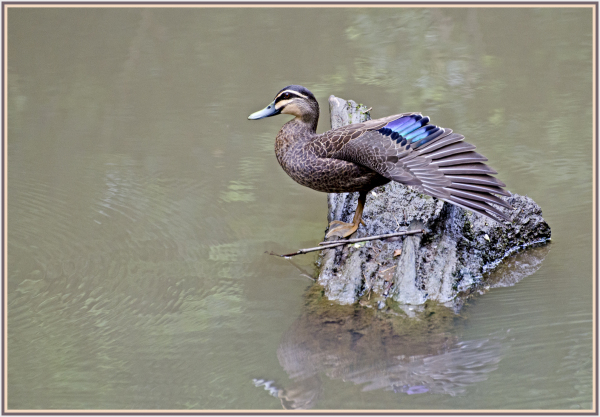 pacific duck