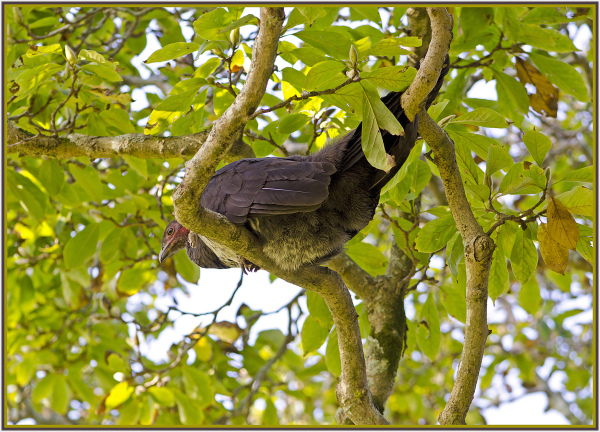 bush turkey on a tree