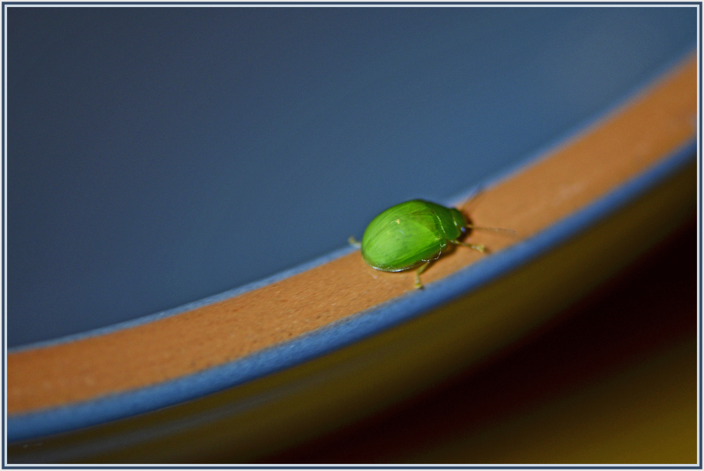 Green beetle on a bowl