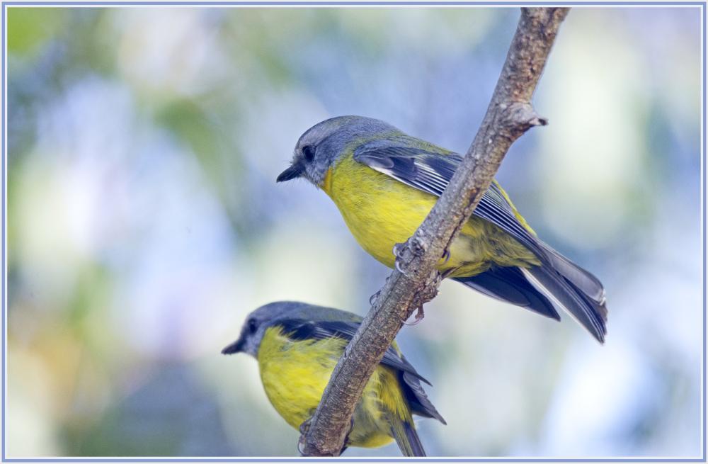 Eastern yellow robins