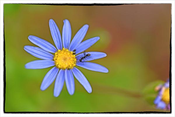 ant on blue daisy
