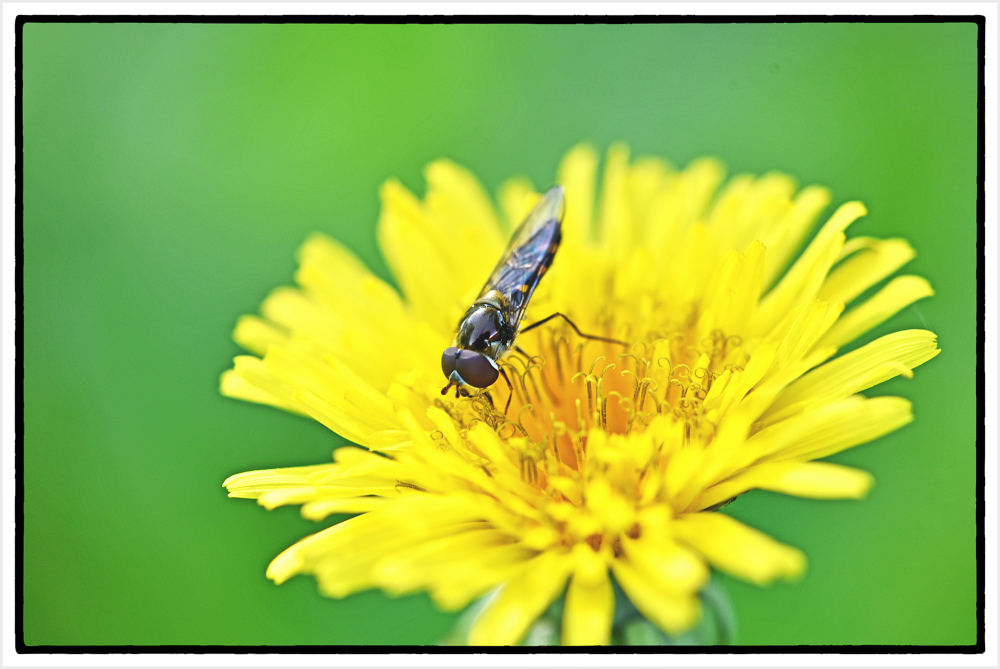small bee on dandelion