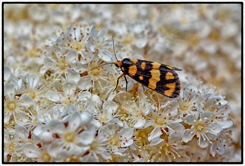 moth on white flower