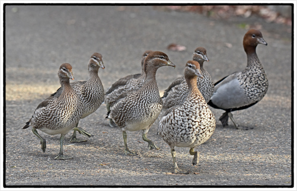 family of young Australian woodducks
