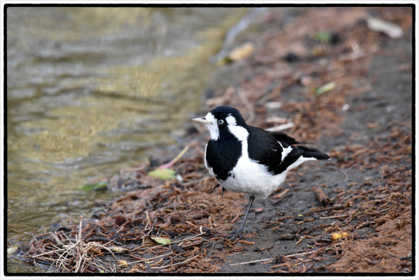 magpie lark on one leg